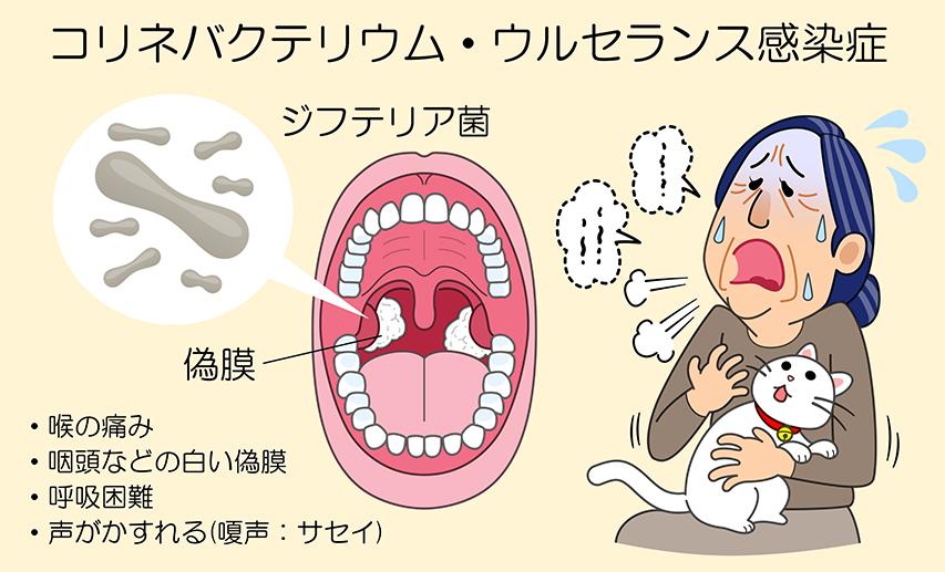 コリネバクテリウム・ウルセランス感染症のイメージ画像