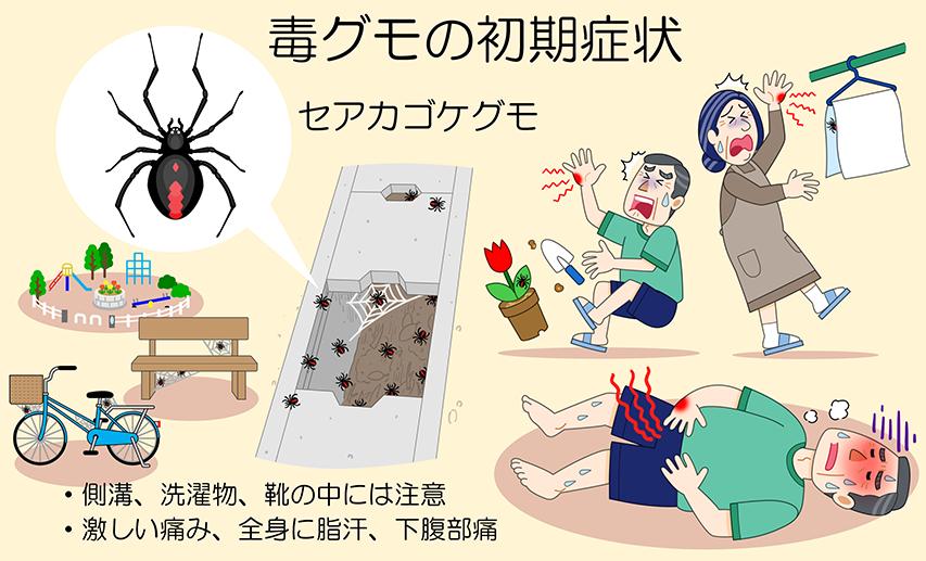 セアカゴケグモの画像